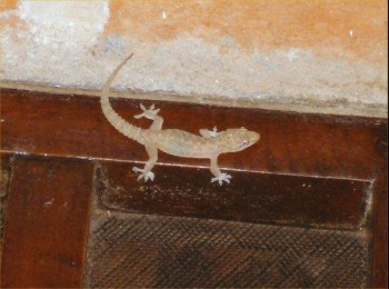 india,gecko,lizard,poisonous