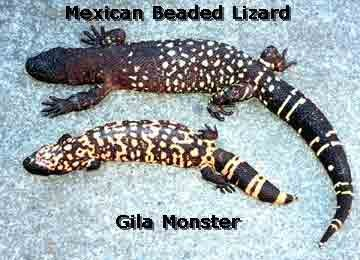 Mexican Beaded Lizard Vs Gila Monster