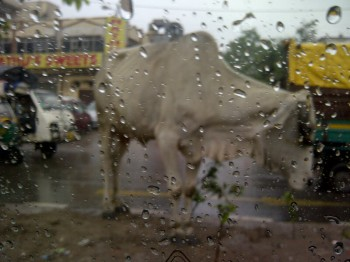 India,Delhi,rain,road,cow