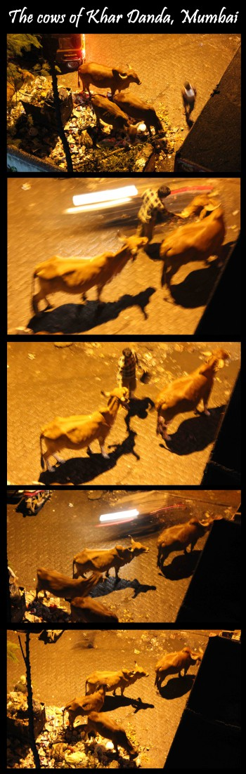 india,cow,meat,cows on the streets,temple cows,milk,euthanasia,killing a cow,old cows,untouchables,she-buffaloes,cows